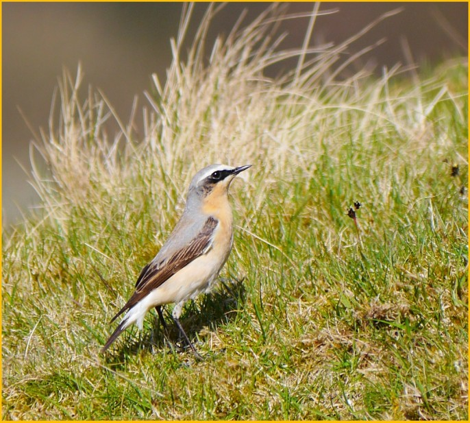 Wheatear near Iron Kilns, East Mines