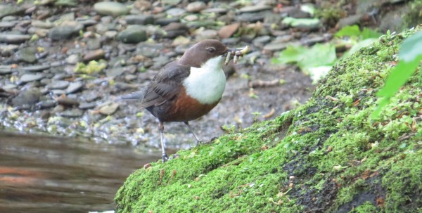 Dipper with a beak full