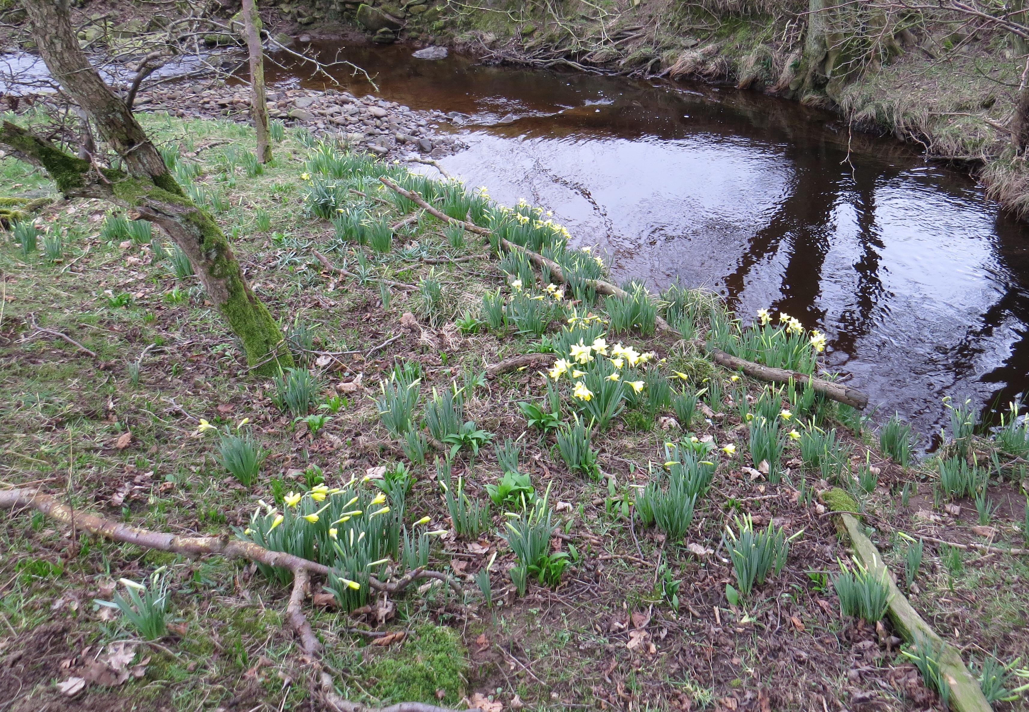 wild daffodils, narcissus pseudonarcissus