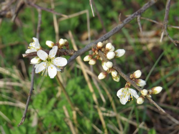 White delicate flowers of blackthorn