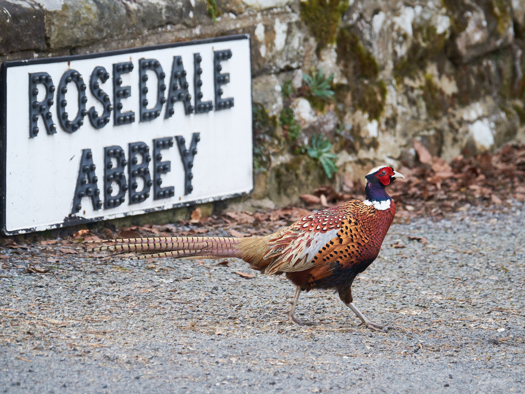 A fine cock pheasant in breeding plumage off to feed in a nearby field